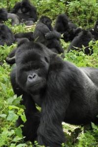 Гориллы Руанды